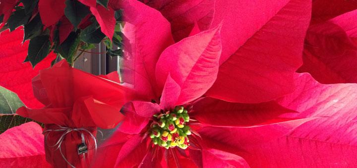 La Poinsetia es la Flor de Pascua para Navidad